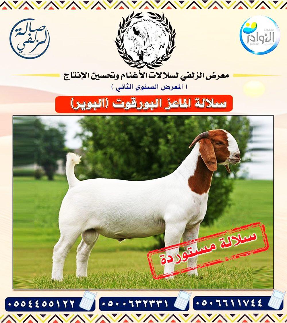 ملكة جمال الماعز